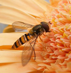 Another Hoverfly on My Bouquet (Chrissie28IWish! ~ hubby passed away 5th Dec peace) Tags: orange flower macro closeup petals wings bugs stamens gerbera antennae hoverfly yelloworange abdomen