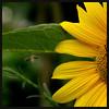 Rey Girasol (m@®©ãǿ►ðȅtǭǹȁðǿr◄©) Tags: barcelona flowers españa flores canon amarillo sunflower catalunya ripollet girasoles canonef50mmf18ii canoneos400ddigital m®©ãǿ►ðȅtǭǹȁðǿr◄© marcovianna sunflowerking reygirasol