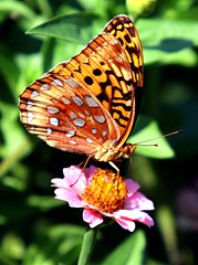 Fritillary Butterfly (Darryl W. Moran Photography) Tags: nature dragonflies butterflies butterly moths naturemacro macrophotography fritillarybutterfly outdoorphotography worldnature colourfulnature colorfulnature wildlifecloseup mothernaturesgreenearth