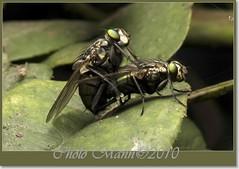 FuckMEbaby¡¡¡ (Espacio Negativo) Tags: macro peru lima sexo flies mating mosca reverselens canon450d carlseiz50mm