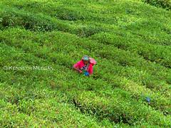 Shock of Pink (Ken Meegan) Tags: people tea srilanka tealeaves shockingpink 17112003 teapicking nuwaraeliyadistrict shockofpink