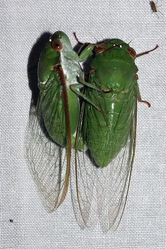 Dundubia vaginata