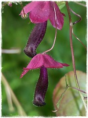Schniedelblume Rhodochiton, lila (Rrruthie2) Tags: projekt farbenpracht
