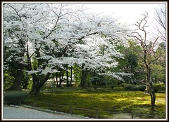 White cherry blossoms-1 (Hopeisland) Tags: park trees plant nature japan cherry spring blossoms sakura cherryblossoms kanazawa
