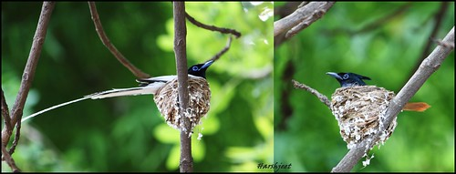 The Asian Paradise flycatcher