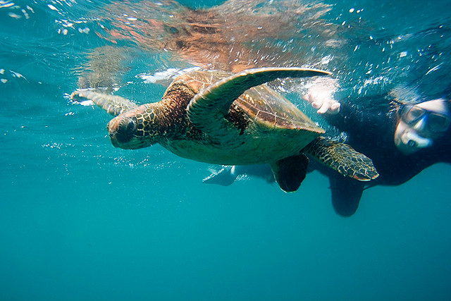 C snorkeling with a sea turtle