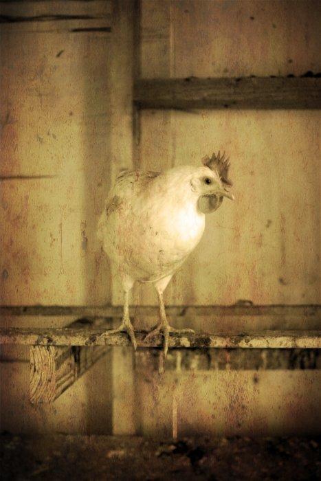 09-05-hens6
