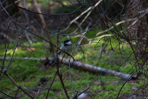 Chickadee in the Woods