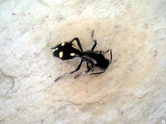 Formiga - Ant