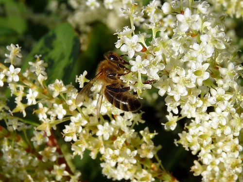22380 - Honey Bee (Apis Mellifera)  on Japanese Knotweed