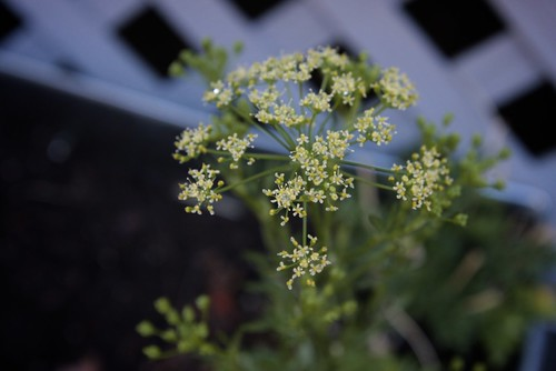 parsley blooms