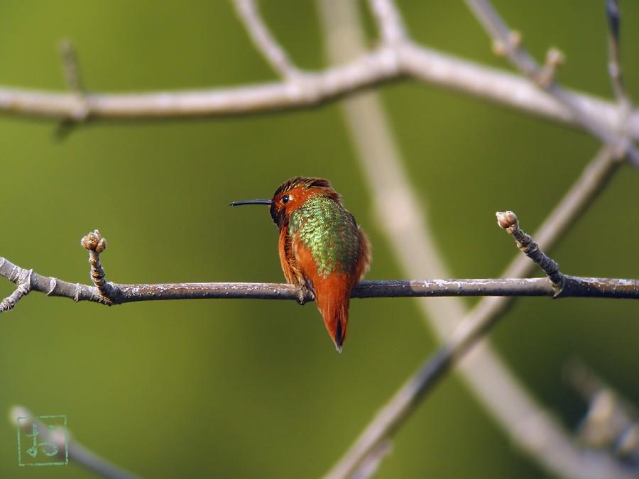 Allen's Hummingbird 02101-2-1