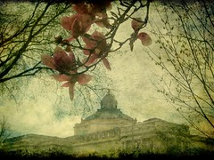 Magnolia Time, Library of Congress (Kurlylox1) Tags: pink flowers spring blossoms libraryofcongress magnolias textured paintinglike copperdome thomasjeffersonbuilding