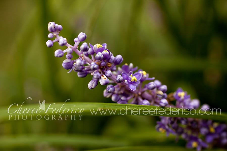 Purple on the Monkeygrass