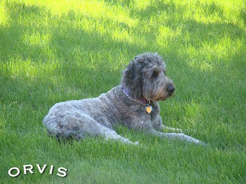 Orvis Cover Dog Contest - Casey