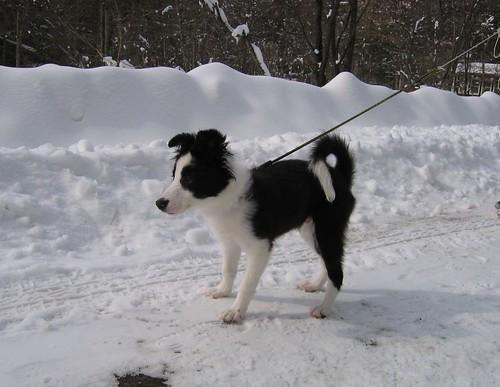 雪道を散歩するランディ 2009.1.22 by Poran111