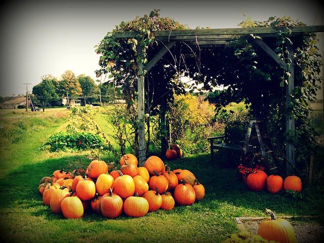 Pumpkins in Concord