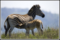 Zeb - couldnt resist this one (A.M.G.1) Tags: africa andy nature southafrica african wildlife zebra krugernationalpark goodman andygoodman amg1 wildlifesouthafrica bfgreatesthits amgoodman