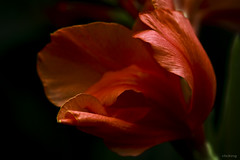 Crimson love (-clicking-) Tags: lighting light red flower macro nature floral beautiful crimson nice dof natural blossom ngc npc bloom flowering colorsonblack