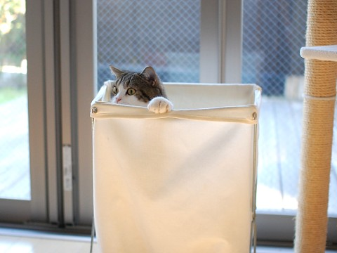 cute maru the cat hiding in laundry hamper