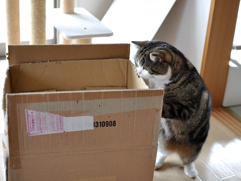 cute maru the cat inspecting a box