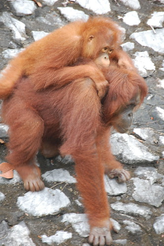 Orangutan Semengoh