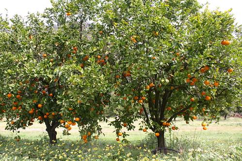 """Pick Your Own"" Mandarin Farm"