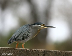 Striated Heron (Butorides striata) (ruslou (on & off)) Tags: nature southafrica wildlife krugernationalpark greenbackedheron butoridesstriatus striatedheron butoridesstriata mangroveheron specanimal groenrugreier ruslou biyamitiweir
