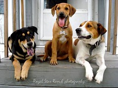 The Old School Gang (Willow Creek Photography) Tags: dog dogs puppy mutt harley zeus mutts hunter doggang harleyrey
