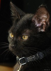 Fury (fredf34) Tags: black animals cat chat noir gato animaux chatnoir flin fredf34