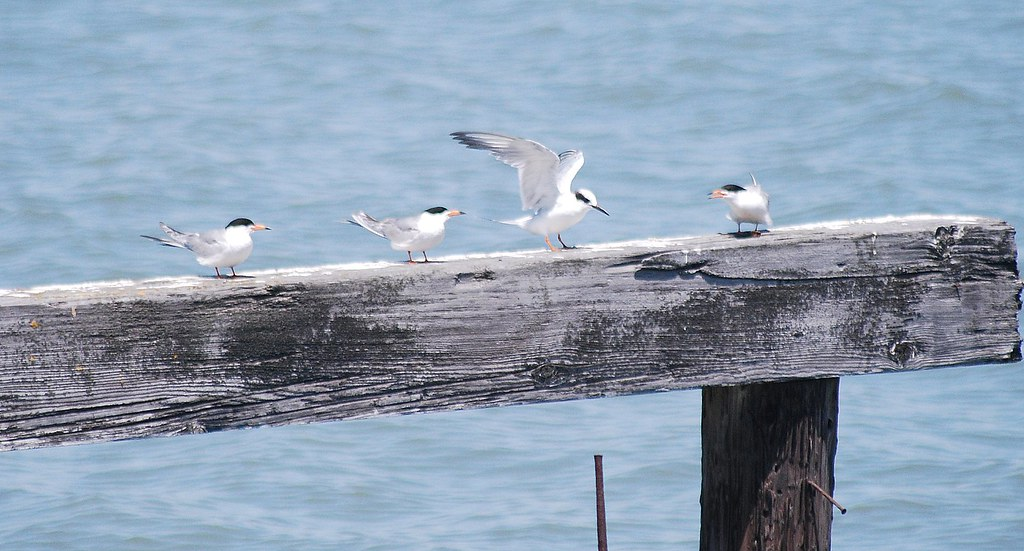 Forster's Tern PRS 7-12-10 2