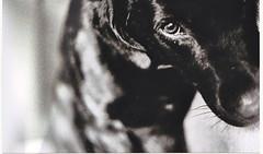 shazam (tartalom) Tags: ireland bw dog film castro ilford yashica yashicafx3 tartalom christophersweeney