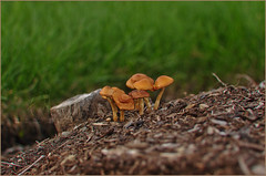 #22 Growing together, as a one body (Abdulla Attamimi Photos [@AbdullaAmm]) Tags: mushroom yard garden photography one photo nikon photos grow photographic together growing 2008 2010  abdulla abdullah amm    d90     tamimi      onebody attamimi   desamm abdullahamm abdullaamm  altamimialtamimi     abdullaammnet abdullaammcom