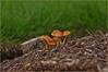 #22 Growing together, as a one body (Abdulla Attamimi Photos [@AbdullaAmm]) Tags: mushroom yard garden photography one photo nikon photos grow photographic together growing 2008 2010 صور abdulla abdullah amm عبدالله صورة خخخخ d90 وحدة فطر تجمع نبات tamimi التميمي مصور نمو جسم فطاير onebody attamimi جسد معاً desamm abdullahamm abdullaamm فطرات altamimialtamimi عبداللهالتميمي المصورعبداللهالتميمي المصورالفوتوغرافيعبداللهالتميمي سوبرماريو abdullaammnet abdullaammcom يدواحدة معبعض مفطورات