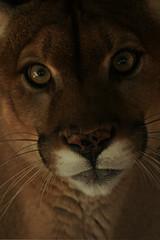 Cougar (Dave 2x) Tags: usa florida puma panther cougar pantherridge daveirving httpwwwdaveirvingwildlifephotographycom