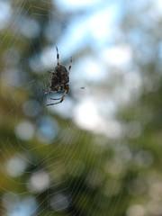 Hämähämähäkki (Riikka's photos) Tags: canada nature spider bc vancouverisland kanada sointula malcolmisland malkosaari