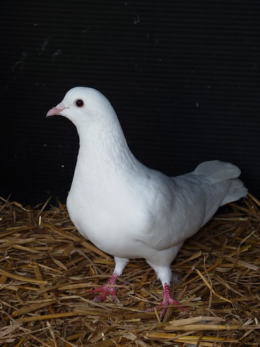 Is there a difference between a dove and a pigeon? at