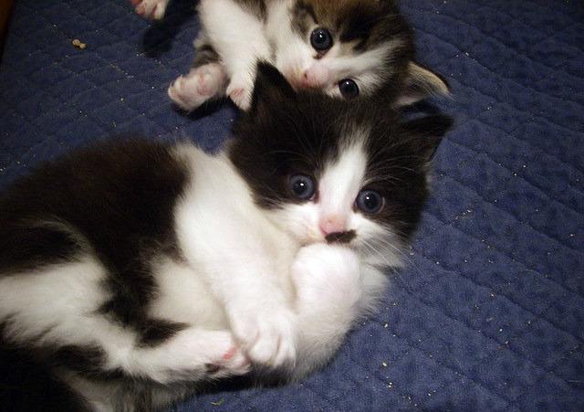 nasal polyps in cats