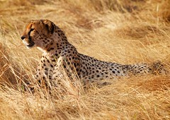 On being the most awsome animal on the planet. (Ragnarmb) Tags: africa animal kenya safari cheeta masaimara