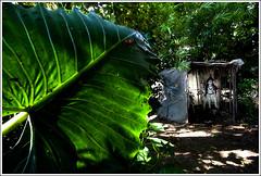 An enlightened presence - II [..Narayanganj, Bangladesh..] (Catch the dream) Tags: light white green home leaves god religion goddess idol devotion lush devotee bangladesh hindureligion purity houseoflight hindus shonargaon gettyimagesbangladeshq2