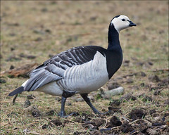 Barnacle Goose (Branta leucopsis) (Foto Martien (thanks for over 2.000.000 views)) Tags: holland bird netherlands dutch zoo nederland goose gans safari oiseau barnaclegoose brantaleucopsis vogel safaripark noordbrabant dierentuin dierenpark hilvarenbeek safariparkbeeksebergen brandgans bernachenonnette nonnengans hvitkinngs vitkindadgs a550 bramgs barnaclacariblanca weiswangengans martienuiterweerd martienarnhem  sony70300gssmlens sonyalpha550 fotomartien