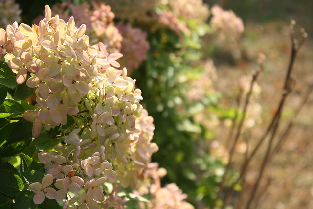 hydrangea in the sun