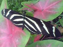 Charitonia (Mariposario Metamorfosis) Tags: mariposario metamorfosis