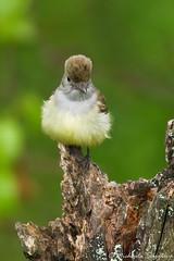 Great Crested Flycatcher (~ Michaela Sagatova ~) Tags: bird nature wet rain dundas flycatcher greatcrestedflycatcher myiarchuscrinitus dvca michaelasagatova