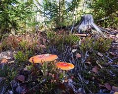 Amanitae and a stump (Jonne Naarala) Tags: mushroom finland fungi stump 4x5 manualfocus kumpunen 5dmarkii cv20 voigtlandercolorskopar20mmf35slii