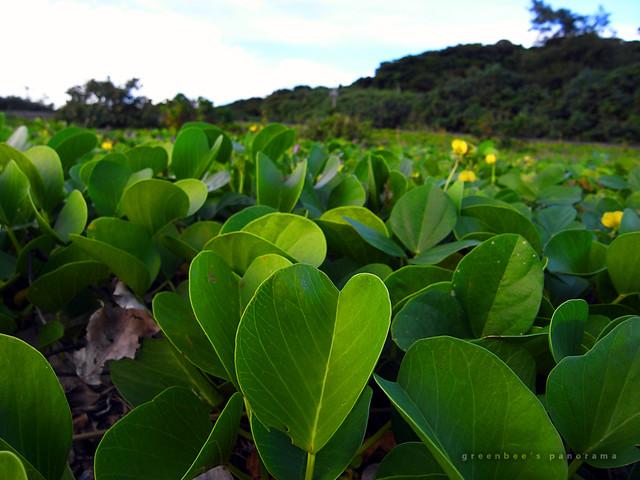 緑の絨毯アップ(玉城の浜辺)