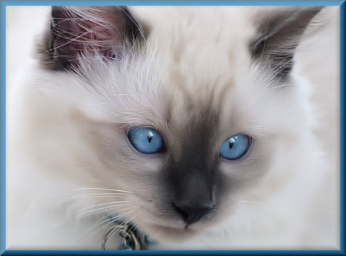 cute kitten ragdoll