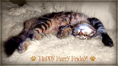 Happy Furry Friday Flickr Friends! (FurBabyLuv *Finally back Online) Tags: silly sepia cat furry kitten weekend sleepy asleep relaxed edit selectivecolor happyfurryfridaymonster