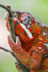 [フリー画像] 動物, 爬虫類, カメレオン, 201010050500