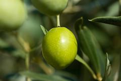 Oliva - Aceituna (mavyrnc) Tags: verde green olive aceitunas olivas perfección ulldecona